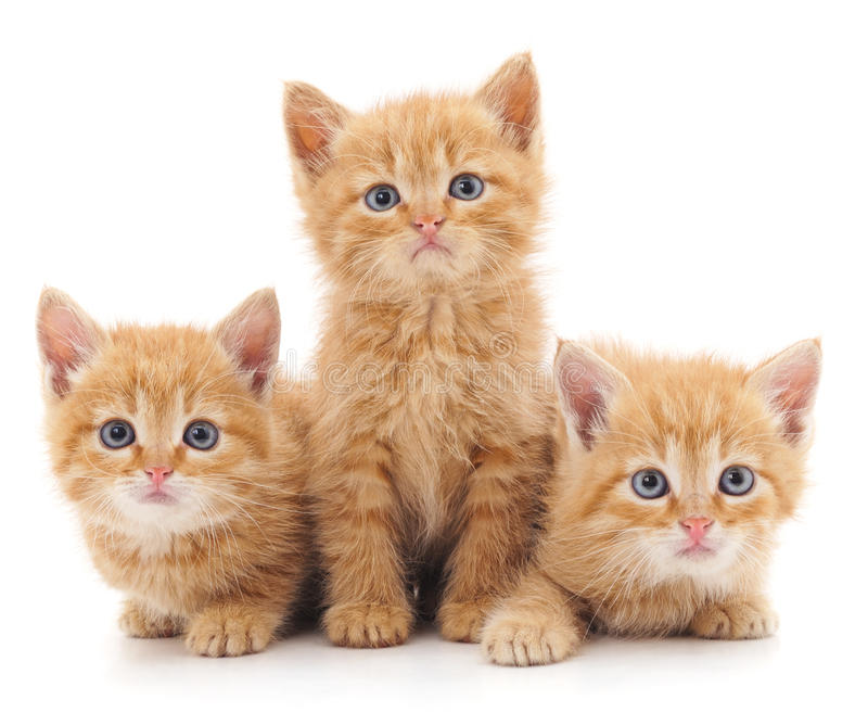 Three red cats. Three red cats on a white background