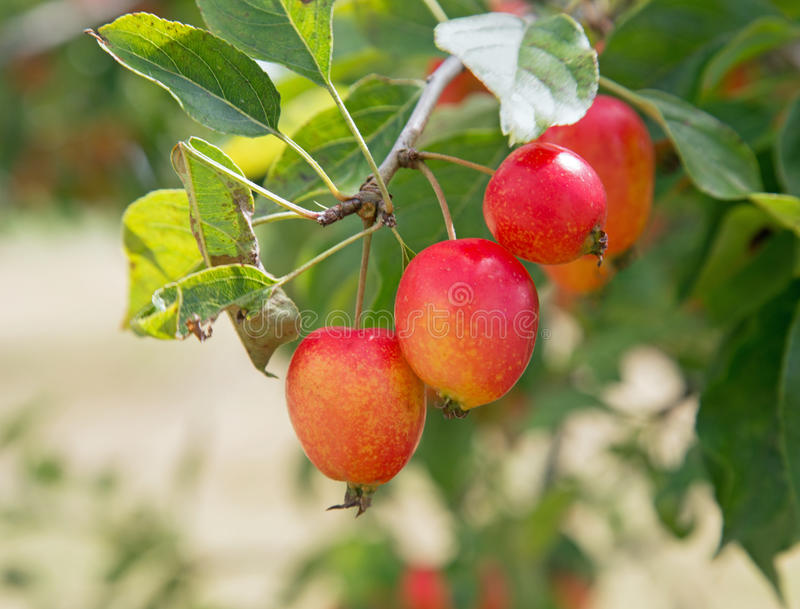 Three red coloured crab apples on the branch of a tree. royalty free stock photos