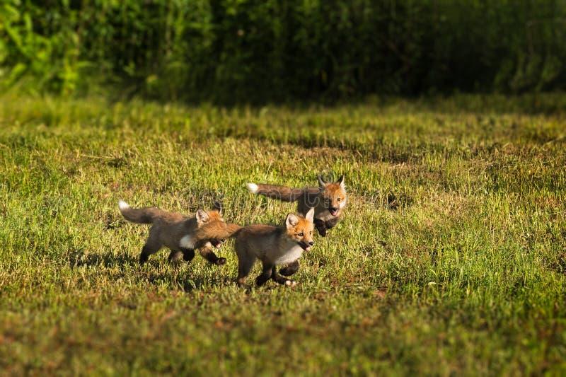 Three Red Fox Kits (Vulpes vulpes) Run Through the Grass. Captive animals stock image