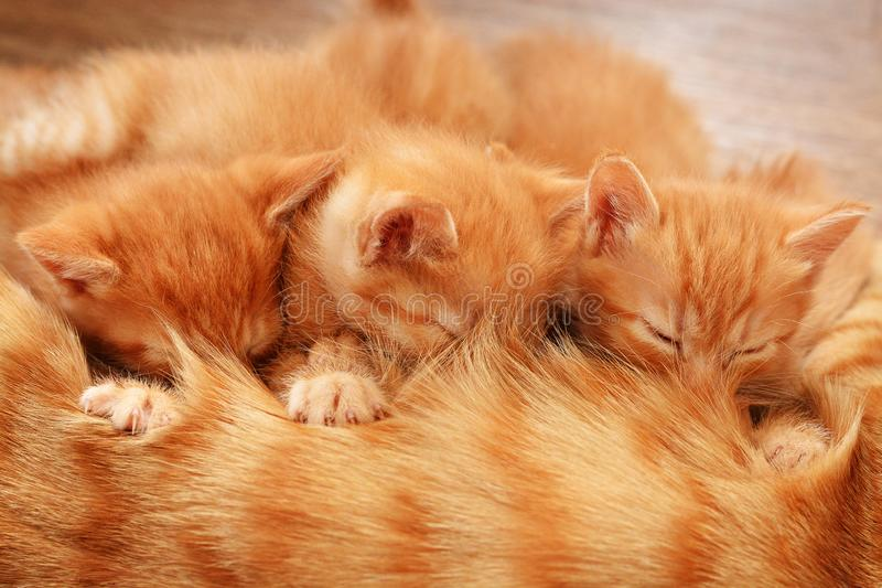 Three red kittens lie on the floor with their mother and drink her milk royalty free stock photo