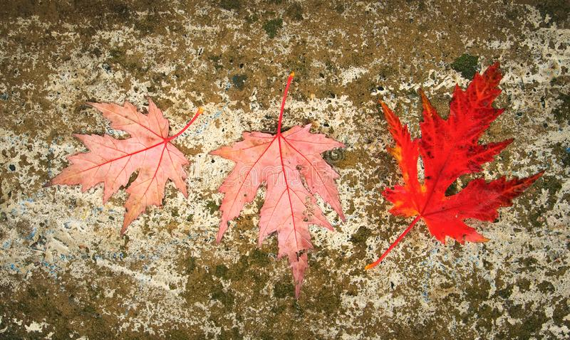 Three red leaf lies on a wet road. Autumn background royalty free stock photos