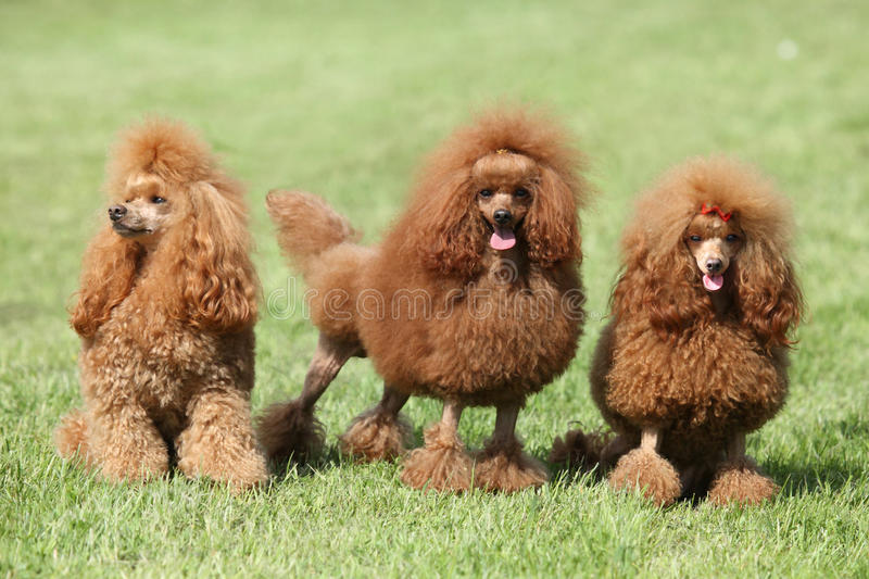 Three red poodle posing on the lawn royalty free stock images