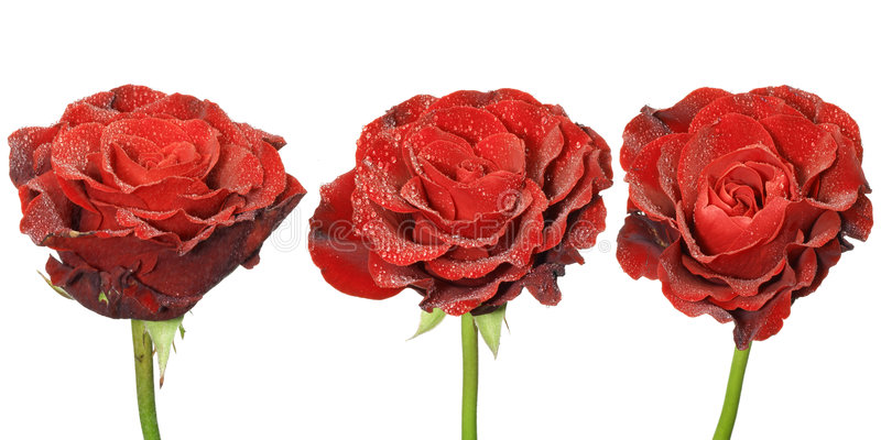 Download Three Red Roses Royalty Free Stock Images - Image: 5206289