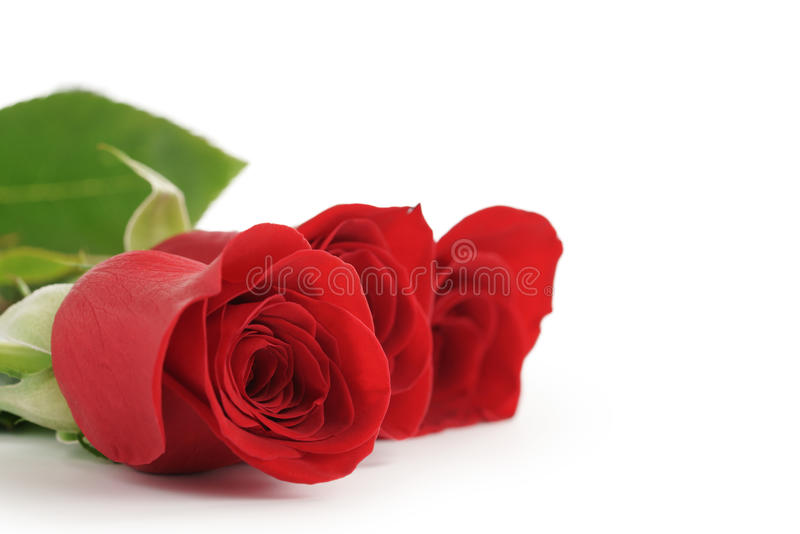 Three red roses on white background with copy space stock image