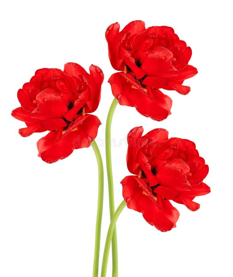 Three red tulips stock image