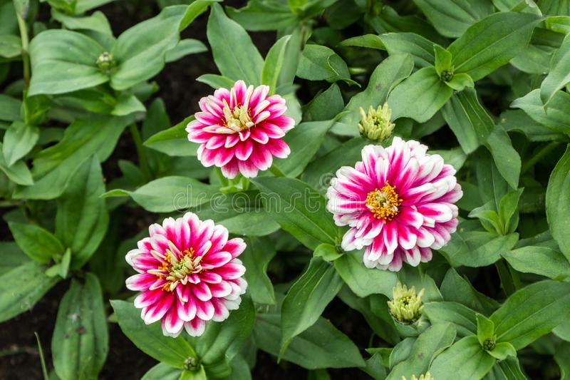 Three red and white and yellow Zinnia elegans flowers with bud and green leaves in a park in summer royalty free stock image