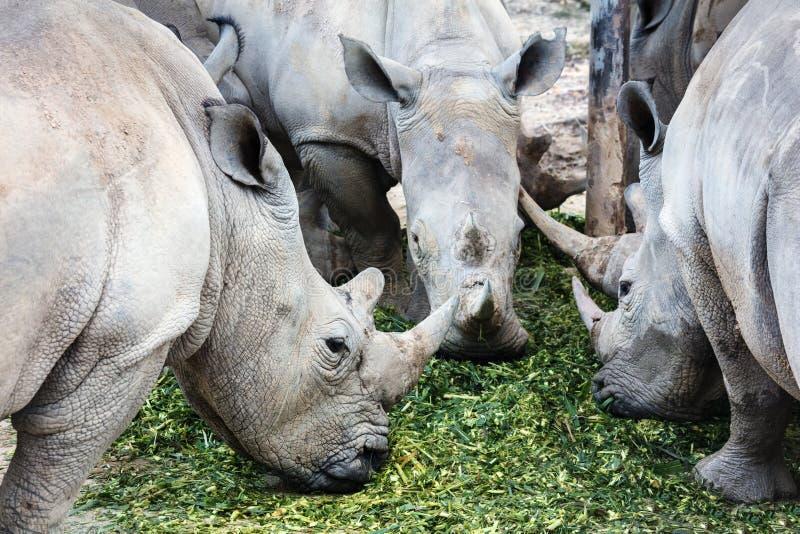 three rhino eating food stock photos