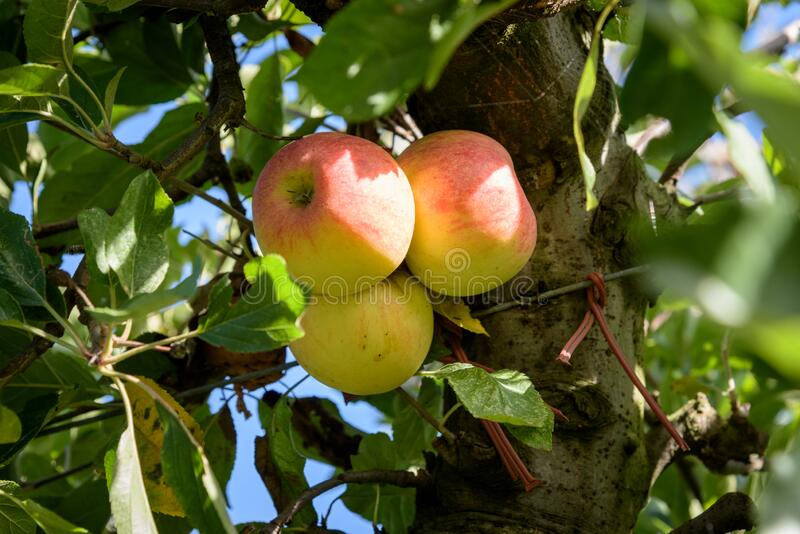 Three ripe apples haning in orchard royalty free stock photos
