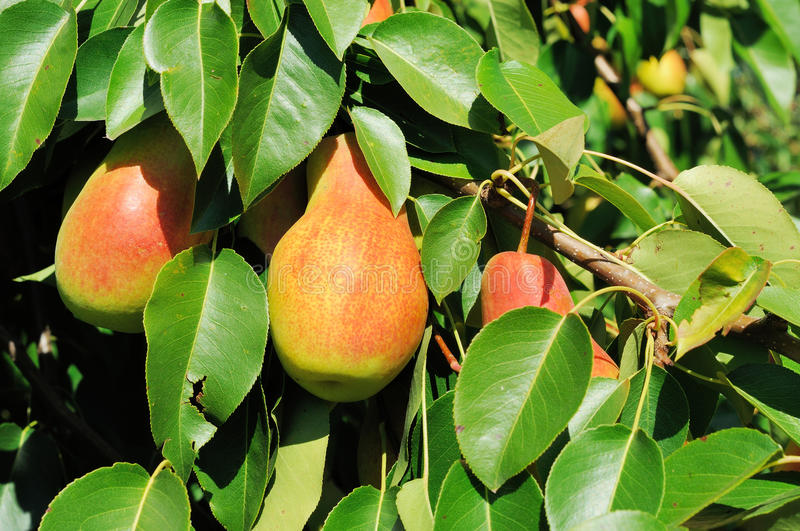 Three ripe pears on the tree. Three red side pears on the tree stock image