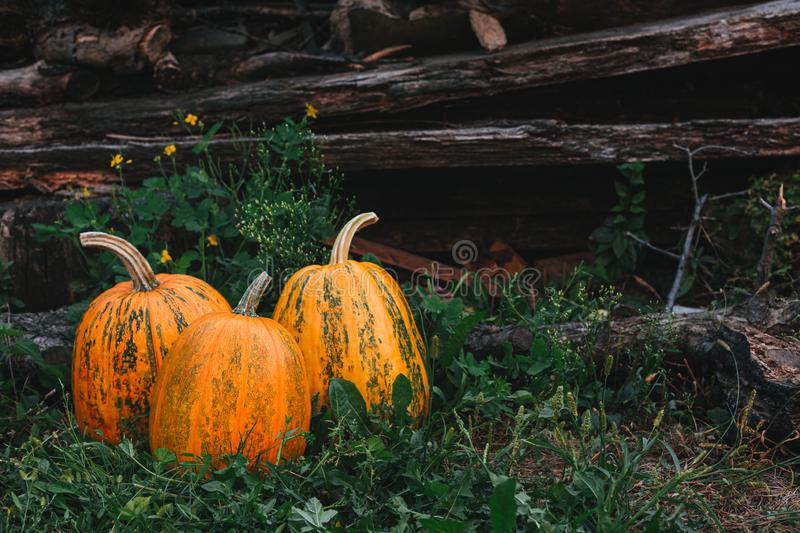 Three ripe pumpkins on a grass background in the country. Thanksgiving card concept royalty free stock images
