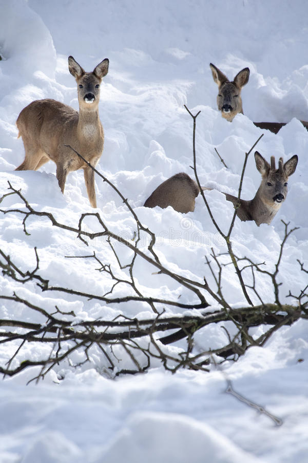 Download Three Roe Deers (Capreolus Capreolus) In The Snow Stock Image - Image: 10271475