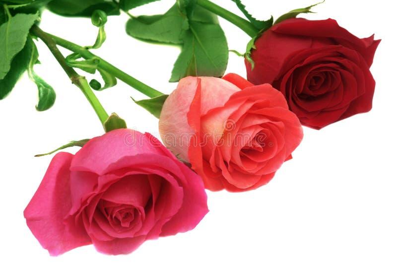 Three roses. Three roses isolated on white stock photo
