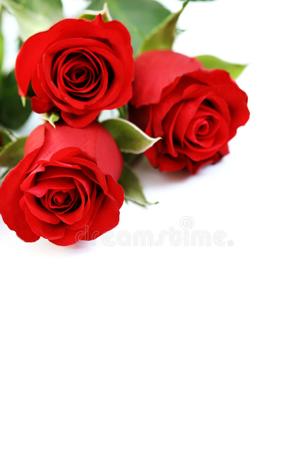 Three roses royalty free stock photo