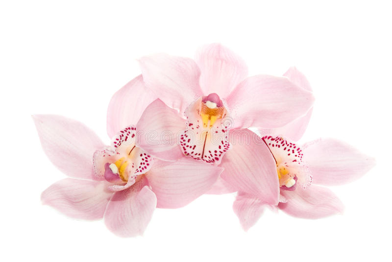 Download Three Rosy Orchids Isolated On White Background Stock Photo - Image of bloom, decoration: 19249852