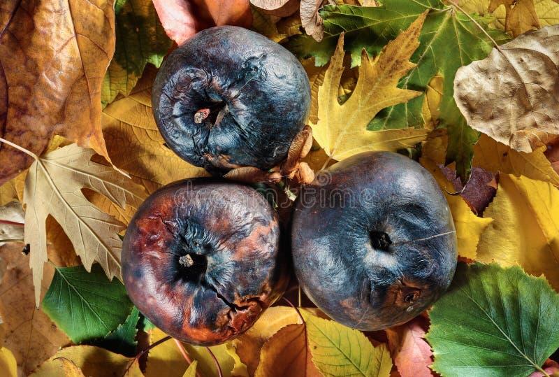 Download Three Rotten Apples On Vivid Autumn Leaves Stock Photo - Image: 11201798