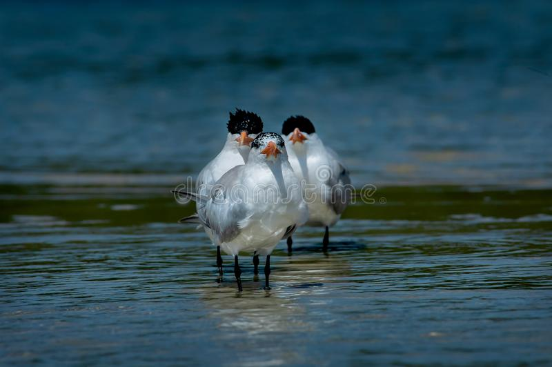Three royal terns wading in shall. Three royal terns group together in a funny trio wading in shallow blue ocean water stock photography