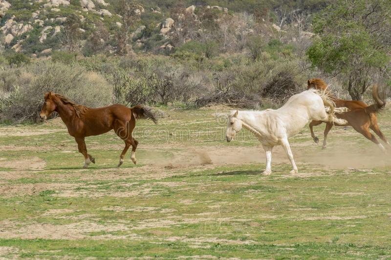 Three Running Quarter horses at Aguanga, California stock photography