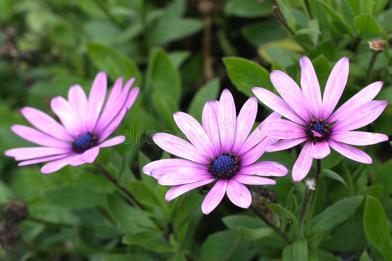 Three's A Crowd. A pair of flowers appear to shun a third royalty free stock photo