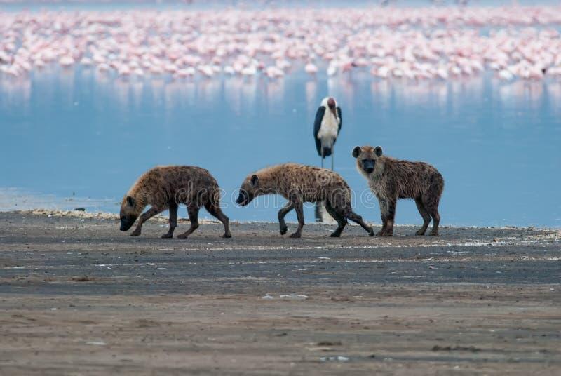 Three sad hyena walking on lake shore after an unsuccessful hunt stock photography