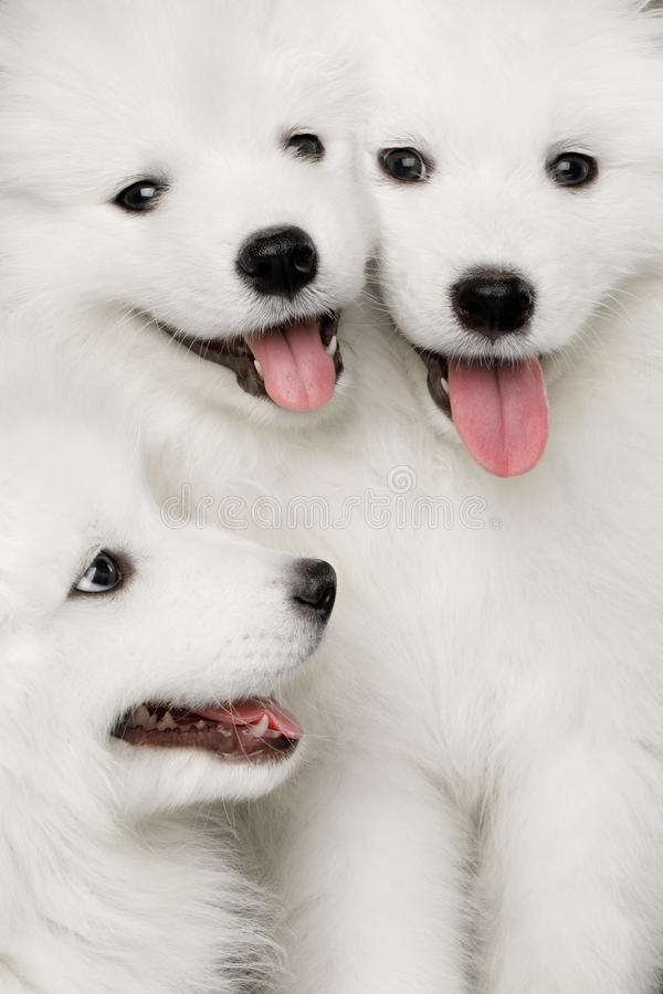Three Samoyed Puppies isolated on Black background royalty free stock image