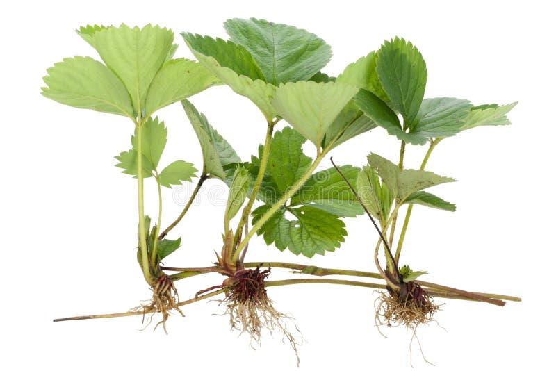 Three sapling of strawberry stock image