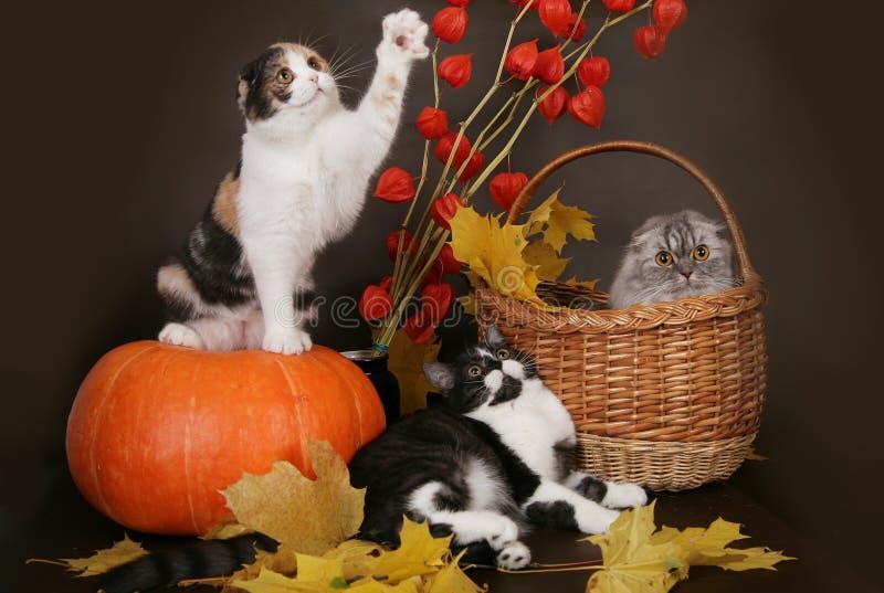 Download Three Scottish Cat With Pumpkin . Stock Photo - Image: 27382750