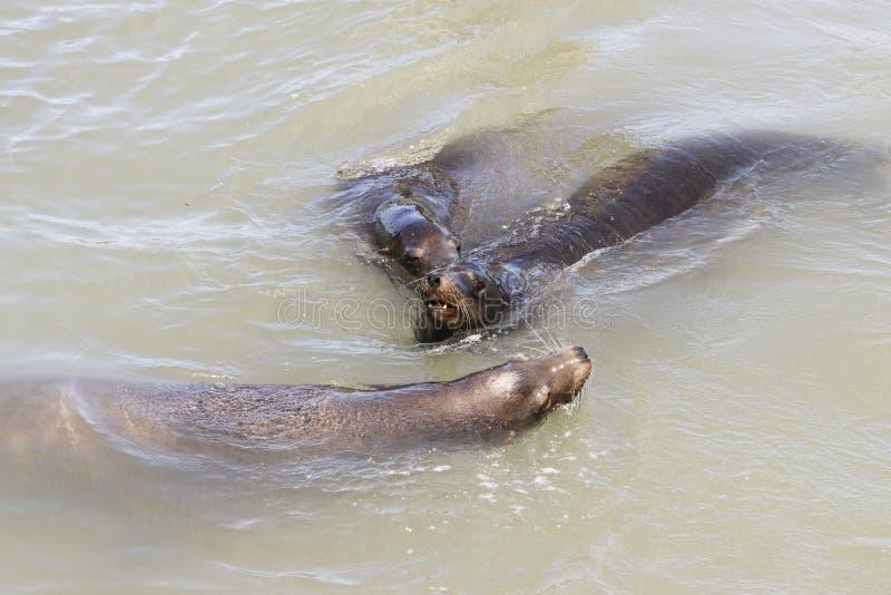 Three sea lion swimming around in the sea royalty free stock image