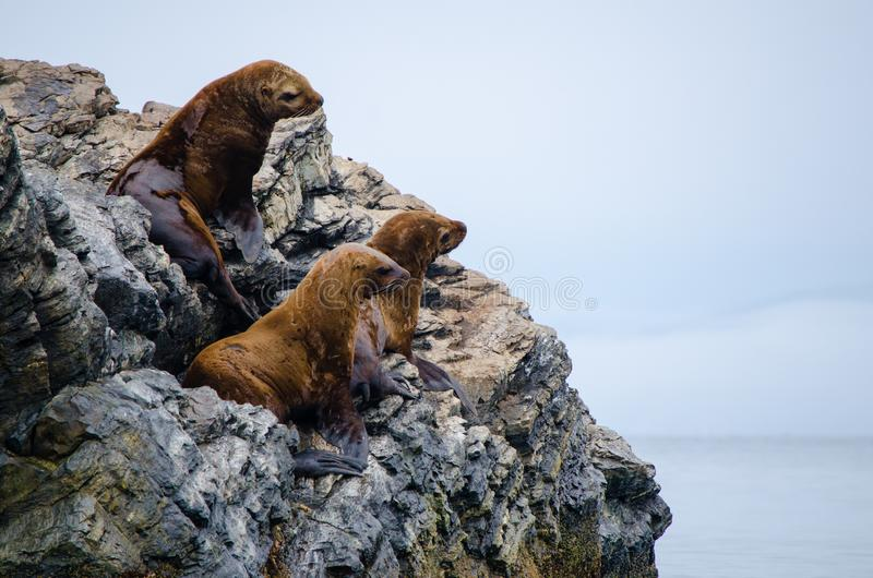 Three sea lions on a rocky island surrounded by the sea stock images