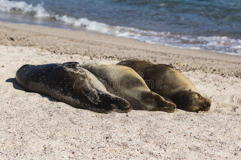 Three Sea Lions in a row at the beach royalty free stock images
