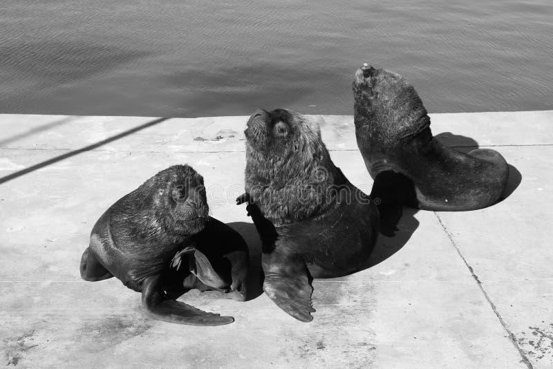 Three sea lions stock photos