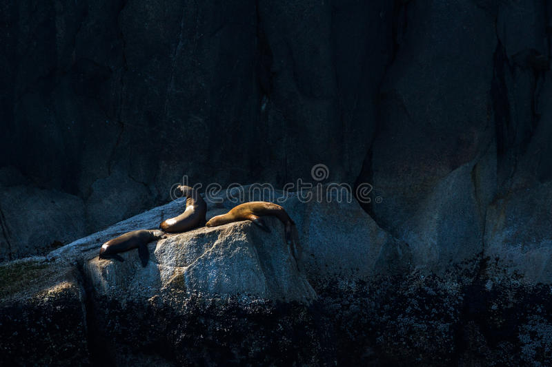 Three sea lions sunning themselves on a rock royalty free stock photos