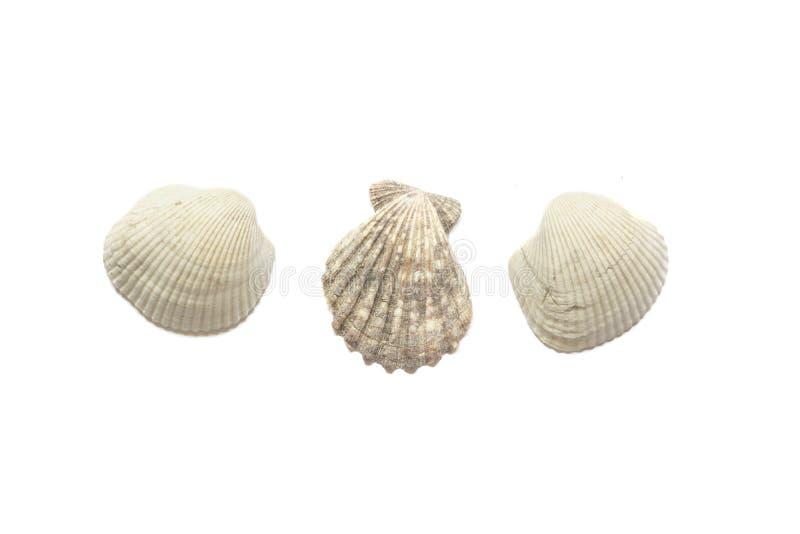 Three sea shells isolated on white background stock illustration