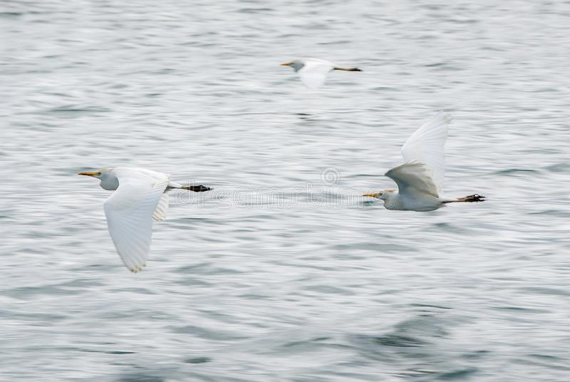 Seabirds. Three seabirds fly in low ground above the waves in a gray light royalty free stock photo