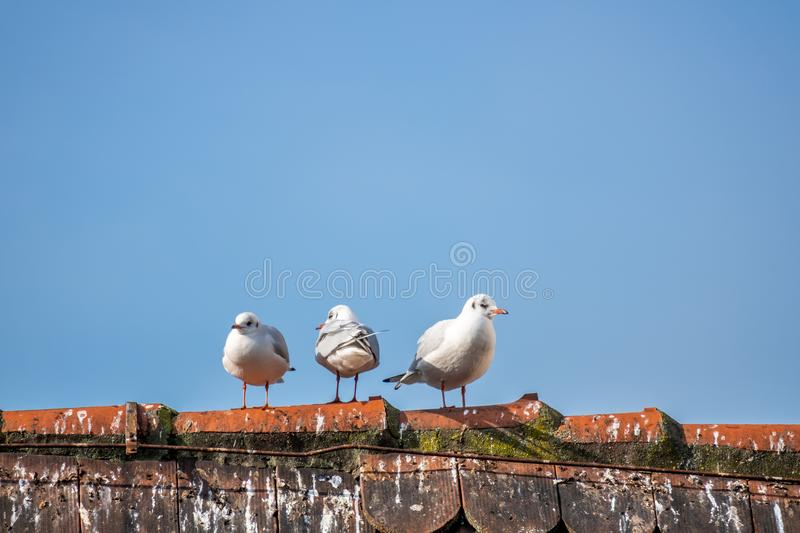 three seagulls on the roof royalty free stock images