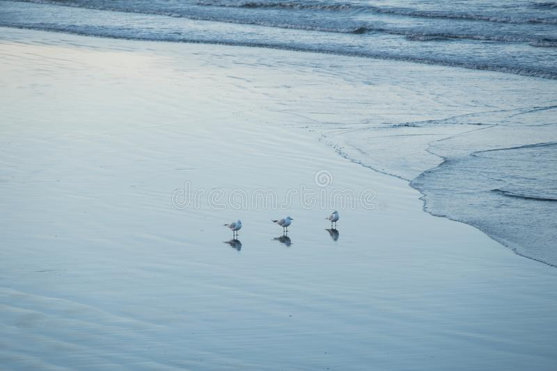 Three Seagulls on the beach royalty free stock images