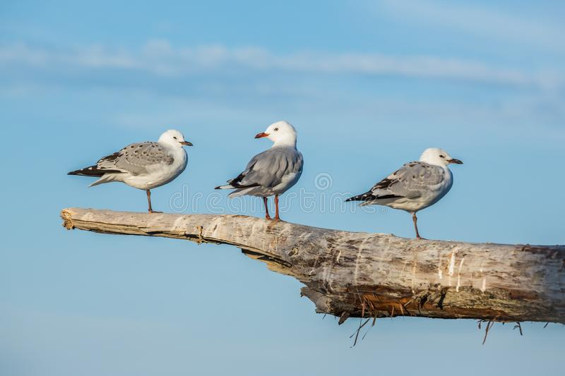 Three Seagulls standing on a driftwood log on the coast of New Z. Three gulls stand on an elevated driftwood log above the beach of Oamaru on New Zealand`s South royalty free stock photo
