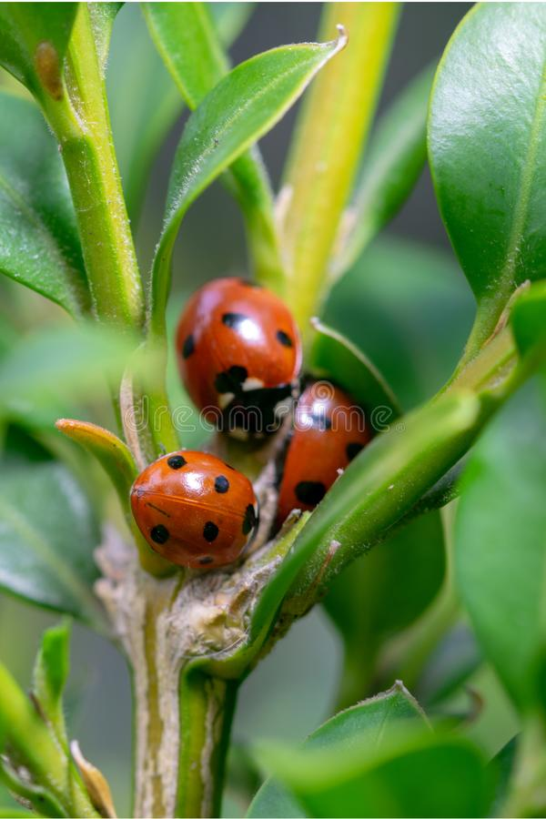 Three 7 spotted Coccinella septempunctata ladybirds grouped together near the branch stem of green shrub foilage. Three seven spotted Coccinella septempunctata royalty free stock images