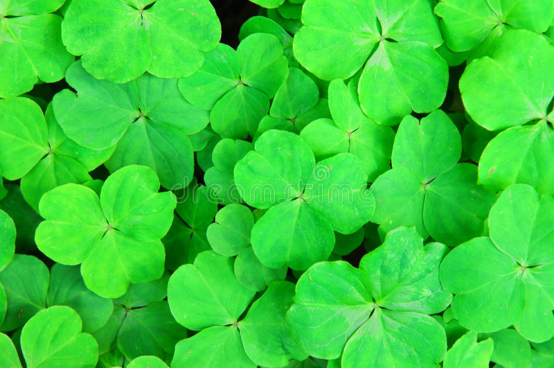Three shamrock leaves. In a clover patch royalty free stock photo