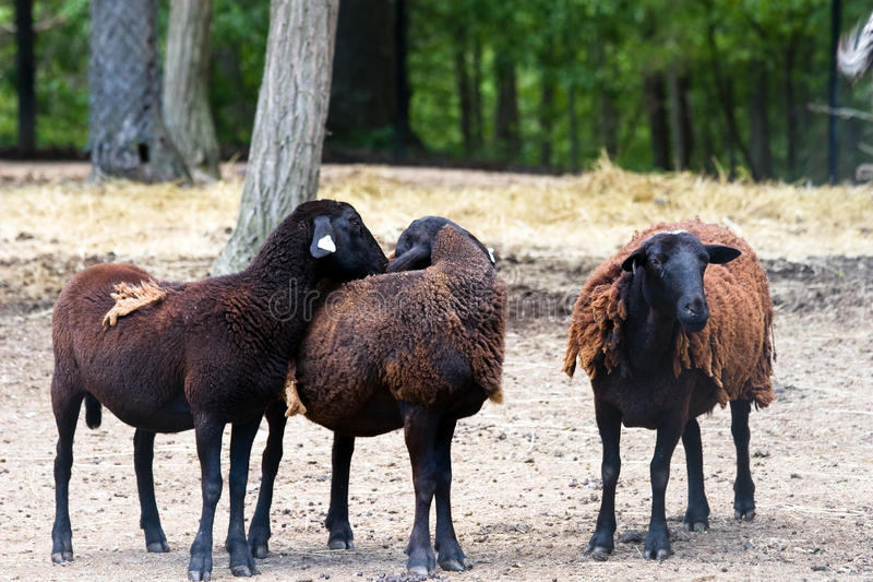 Download Three Sheep stock image. Image of domestic, outside, three - 12210063