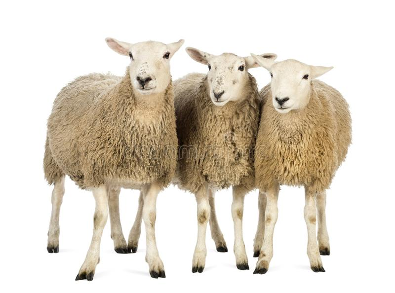 Three Sheep against white background stock photography