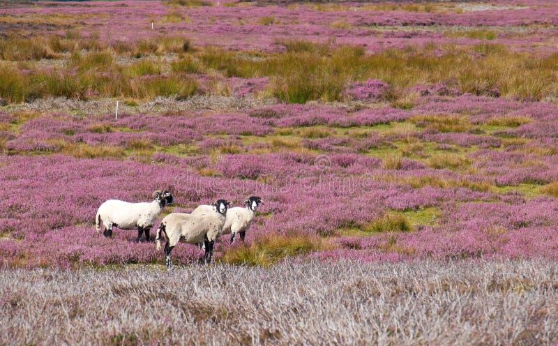 Three sheep amongst the heather stock photography