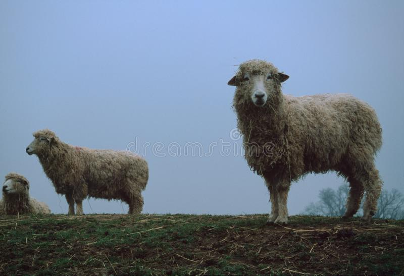 Three Sheep in Different Poses on Grass. Shot of a three sheep facing different directions on grass stock photography