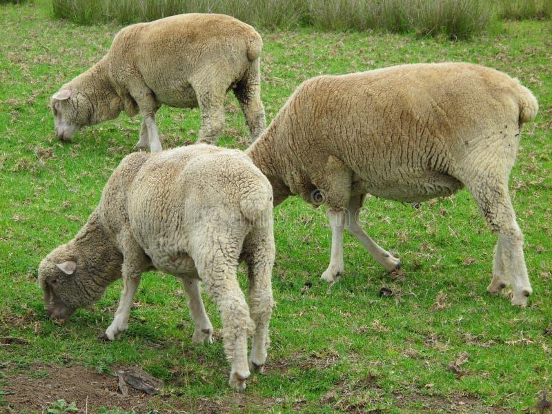 Three sheep grazing stock image