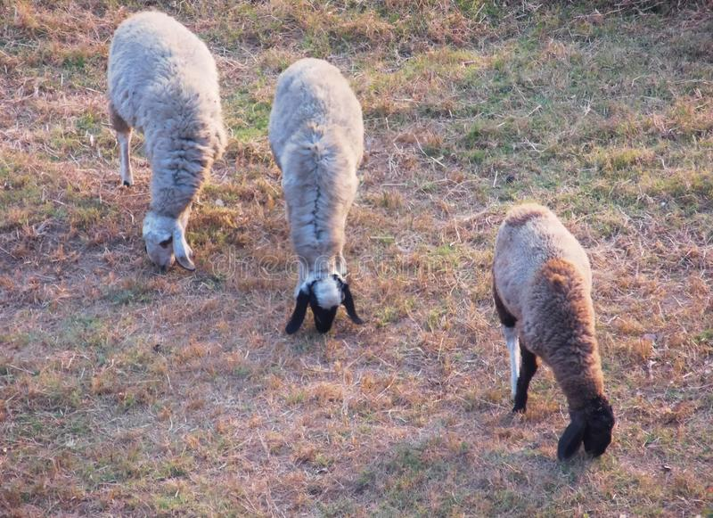 Three Sheep grazing in formation on grass field royalty free stock photos