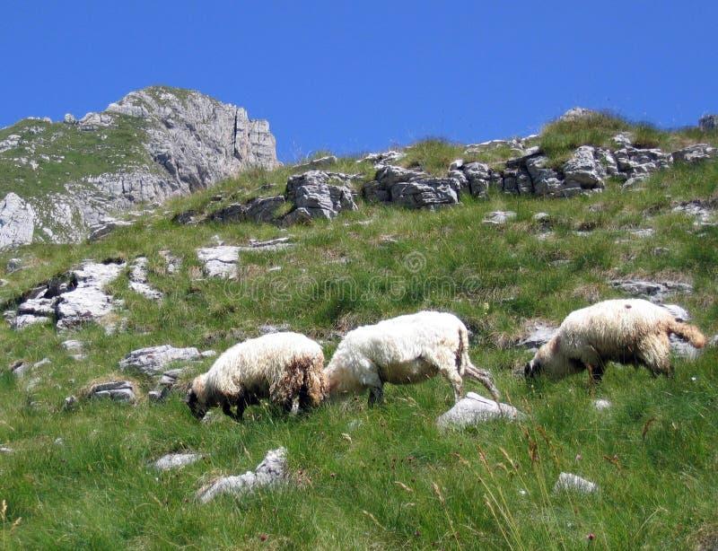 Download Three Sheep At The Mountain Stock Photo - Image: 217590