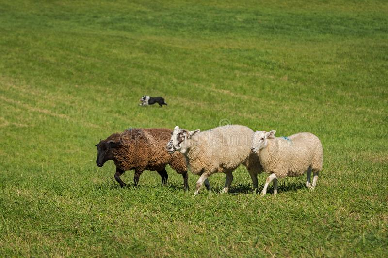 Three Sheep Ovis aries and Stock Dog in Background. At sheep dog herding trials stock photos