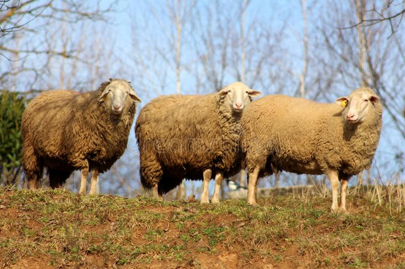 Three sheep standing and posing for the camera stock photo