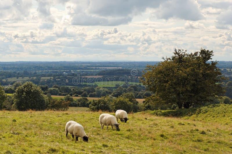 Download Three sheep at Tara Hill stock photo. Image of grass, fields - 7428650