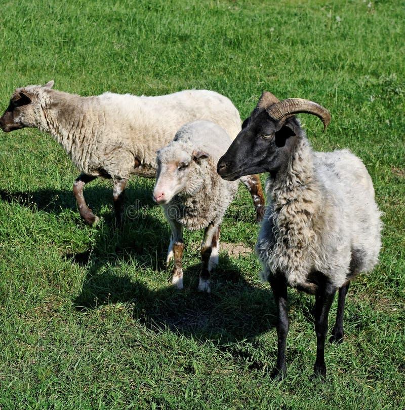 Three sheeps. stock photography