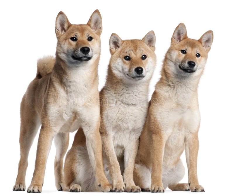 Three Shiba Inu puppies, 6 months old stock photo